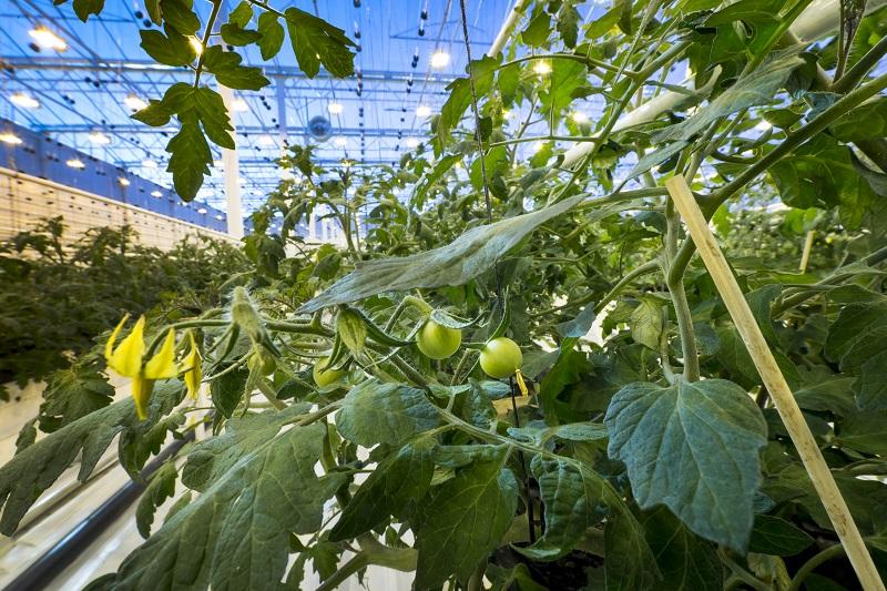 Aquaponics to produce fish and tomatoes | FARNET